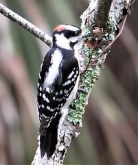 Downy Woodpecker (simonsr35) Tags: picoidespubescens downywoodpecker