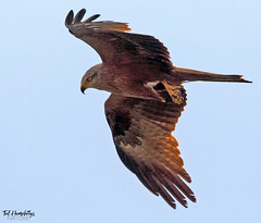 Black kite with prey in talons (Ted Humphreys Nature) Tags: blackkite kites raptors birdsofprey france tedhumphreysnature