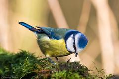 Blue Tit (kevinclarke1969) Tags: tit nottinghamshire rufford park bird