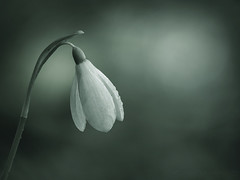 Springwatch (SkyeWeasel) Tags: macromondays monochrome flower plant snowdrop macro spring ngc npc