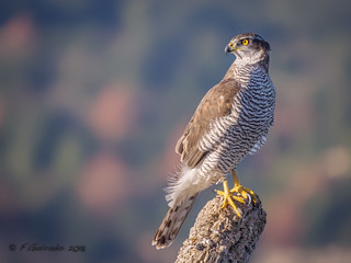 Azor - Astor - Northern goshawkar