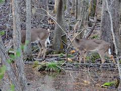 180217 Deer 3 (reneedobbs) Tags: deer wildlife nature swamp