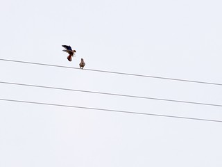 Kestrel Courtship