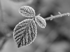 frost (F VDS) Tags: forest sonian leafs frozen winter cold bw