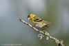 Siskin (Carduelis spinus) (Julian Cook Photography) Tags: bird birds cairngorms carduelisspinus eurasiansiskin finch highland kingussie outdoor scotland uk unitedkingdom winter