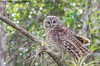 Barred Owl (Lotterhand) Tags: barred owl florida everglades