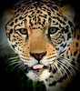 Jaguar (Pix.by.PegiSue>Thx 4 over 6M+ views!) Tags: jaguar bigcat feline cat jag allrightsreservedcopyrightpixbypegisue