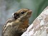 Western Striped Squirrel (ChongBT) Tags: nature natural animal mammal rodent squirrel western striped himalayan tamiops mcclellandii malaysia bukit tinggi