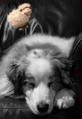2-52 - Della - Dreaming In Color and Counting Sheep (janecumming33) Tags: 52weeksfordogs australianshepherds aussies sleeping dreaming