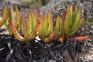 Essbare Mittagsblume (Carpobrotus edulis) auf den Küstenfelsen bei Sagres, Algarve (5)