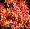 2013-09_D70_2013_20171206 (Réal Filion) Tags: québec canada arbre feuillage feuille automne rouge couleur forêt environnement végétal autumn fall foliage leave red color vegetable tree forest environment quebec