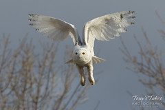 Snow Owl takes flight - sequence - 9 of 9