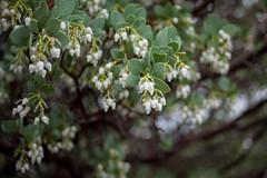 IMG_0148 (dangerismycat) Tags: mtdiablo california flowers manzanita