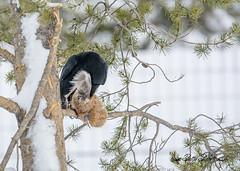 (Pattys-photos) Tags: raven grizzlyandwolfdiscoverycenter westyellowstone montana pattypickett4748gmailcom pattypickett