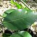 Ficus aurea (Florida strangler fig) 1