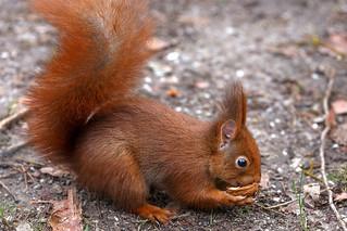 Eichhörnchen-4