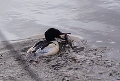 Smelling something fishy (tusenord) Tags: bestof fotosondag fiskar abborre norrköping storskrake mergusmerganser jakt fs180128 percafluviatilis doft success catch