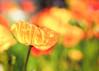 Poppies (mclcbooks) Tags: flower flowers floral macro closeup poppy poppies spring denverbotanicgardens colorado