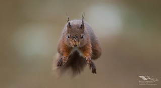 Red squirrel, Cairngorms NP
