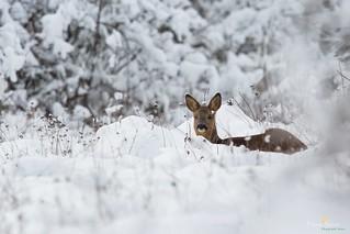 Chevrette couché dans la neige