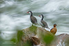 Torrent Duck Family (www.NeotropicPhotoTours.com) Tags: torrentduck merganettaarmata ecuador flyingjewelsofecuador phototour nature photography tours expeditions threeanimals river lowshutterspeed canongear boulder water cold colorimage wildlife animalwildlife neotropicphototours juancarlosvindas