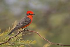Vermilion Flycatcher (Matt Shellenberg) Tags: vermilion flycatcher vermilionflycatcher red arizona southwest matt shellenberg