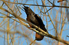 Crow Communication (Astral Will) Tags: bird corvid crow birdsthroughbranches call communication intelligence