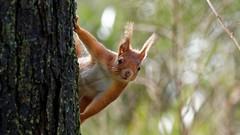 Cache-cache (golfpatphoto) Tags: toulouse jardindesplantes écureuil