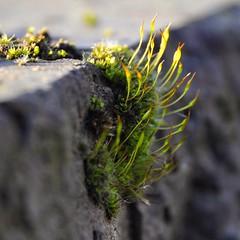 reaching for sunshine (Carlos Lubina) Tags: 7dwf flora macro moos sunshine wall