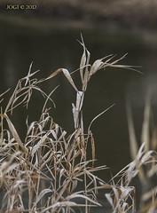 2012_03_04_50d_25aa (joergpeterjunk) Tags: leipzig lützschenastahmeln outdoor pflanze schilf trockenesschilfgras canoneos50d canonef70300mmf456isusm