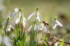 Early bee on snowdrops (shaftina©tion) Tags: arthropod bee flower galanthus snowdrop white early flowers insect insectinsekt insekten pollinate pollinating pollination spring