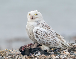 Snowy Owl guarding her prey - a Scoter