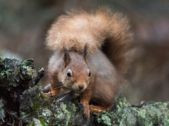 Nosey! (Sandy MacLennan) Tags: red squirrel redsquirrel sciurusvulgaris fourfingers fivetoes
