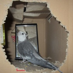 No Place Like Home (jefalump) Tags: whitefacedcockatiel mirror nymphicushollandicus cardboard box bird home thereisnoplacelikehome flickrfriday