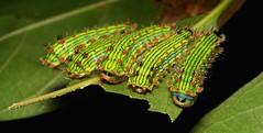 """Stinging Nettle Slug Caterpillars (Cup Moth, Parasa sp., Limacodidae) """"Triple Streak"""" (John Horstman (itchydogimages, SINOBUG)) Tags: insect macro china yunnan itchydogimages sinobug entomology moth lepidoptera caterpillar larva cup limacodidae stinging nettle slug triple streak 2 5 triplestreak"""