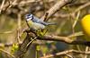 Blåmeis (Stjerneøye) Tags: blåmeis meis bluetit tit fugl