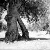 scan0004 (Champy88) Tags: bronicaec nikkorp7528 fomapan100 foma formatomedio mediumformat reflectamf5000 rodinal blancoynegro blackandwhite noiretblanc film filmphotography filmisnotdead 120film olivo olivetree olive