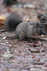 I'm eating in the rain... (carlo612001) Tags: nature squirrel wildlife wood