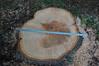 DSC_2331 (markpeterson1) Tags: jdtreepros redoak treeremoval