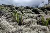 DSC04382-b (eisesser) Tags: lareunion lava vulkanismus farn flechten moos