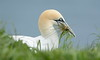 Gannet (Andy bradders) Tags: gannet cliffs bempton colony andybradders andybradshaw andrewbradshaw grass coast eastcoast bird diving rspb yorkshire eastriding nikon d7100 ngc fish sea coastal