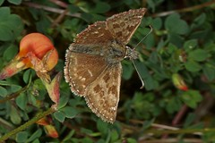 Rolf_Nagel-Fl-1418-Erynnis_tages (Insektenflug) Tags: erynnistages dingyskipper kronwickendickkopffalter gråbåndetbredpande erynnis tages dingy skipper kronwicken dickkopffalter gråbåndet bredpande schmetterling insects fly fliegend im flying flight airborne action wildlife highspeed entomology nature animal animals wild freilebend entomologie falter fauna fliegen flug tagfalter natur insekt insekten lepidoptera zoologie butterfly insect imflug inflight insektenflug minoltaerokkor75mm erokkor minolta rokkor 75mm envole en vole