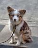 Little Blue Eyes (Scott 97006) Tags: dog canine animal pet cute exoression watching eyes leash alert