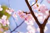 IMGL0579 (GARNETSKY2006) Tags: 180304sakura 5d3 sakura cherryblossom 50mmf12