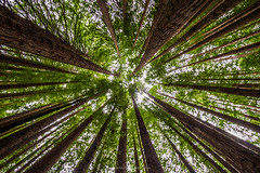 Looking Up (Joel Bramley) Tags: trees tree tall forest redwoods otway park nature landscape green victoria australia