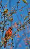 Male Cardinal (Chad Horwedel) Tags: malecardinal male cardinal bird crabappletree bolingbrook illinois