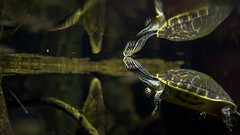 8002 (PhillipsVonNoog) Tags: tennessee aquarium animal animals zoological nikon dslr d3s 50mm 50 mm 18 nikkor reptile reptiles turtle turtles reflection reflections