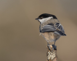 Mésange à tête noire - Black-capped Chickadee