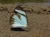 Itaballia demophile (Camerar) Tags: butterfly itaballiademophile peru pieridae butterflies insect