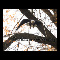 bald eagle launch (wildlifephotonj) Tags: baldeagle baldeagles eagle eagles raptor raptors wildlifephotography wildlife nature naturephotography wildlifephotos naturephotos natureprints birds bird